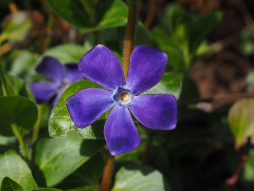 periwinkle flower blossom