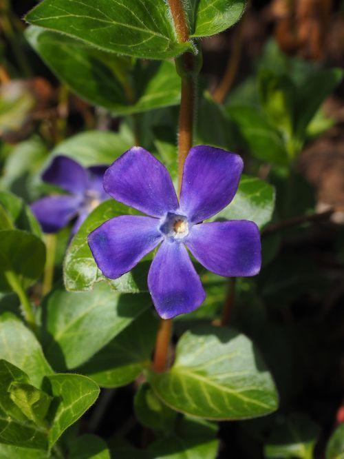 periwinkle flower blossom