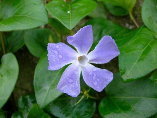 periwinkle flower vinca major