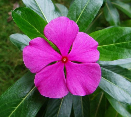periwinkle catharanthus roseus dharwad