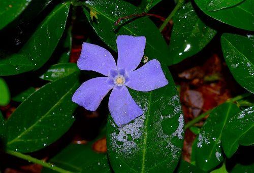 periwinkle violet blue