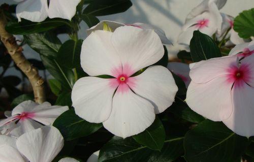 periwinkle wildflowers flowers