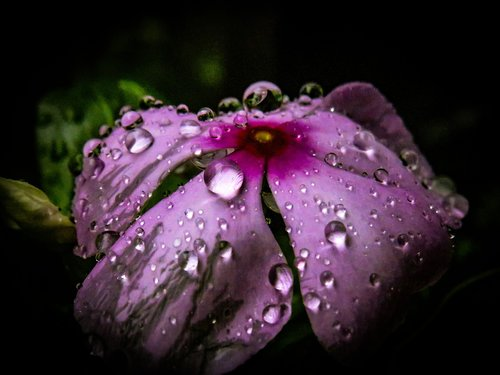 periwinkle  flower  rain