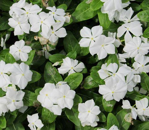 periwinkle flowers vinca minor