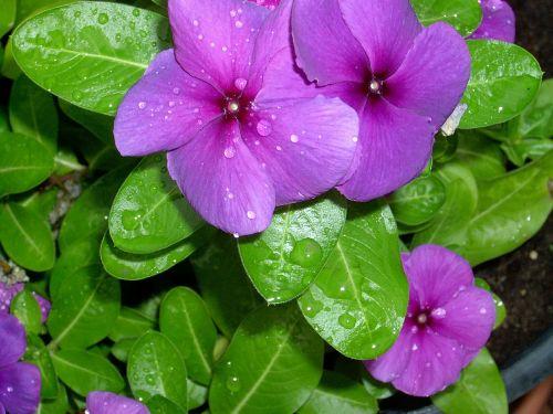 periwinkle dew flower