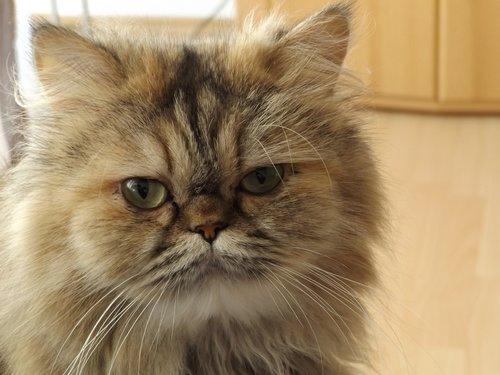 persian cat  cat  felidae