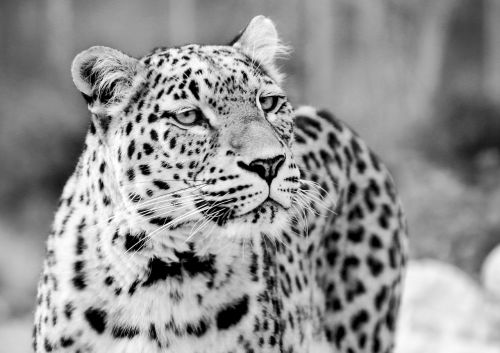 persian leopard leopard black and white