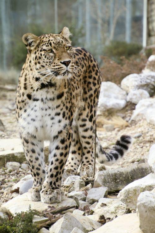 persian leopard leopard full length portrait