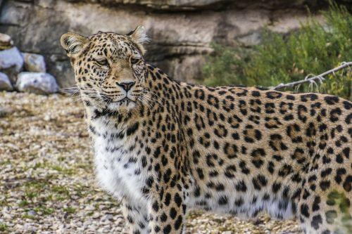 persian leopard leopard portrait