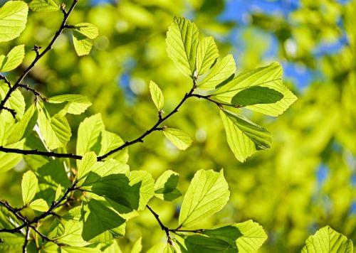 persian oak wood parrotia persica leaves