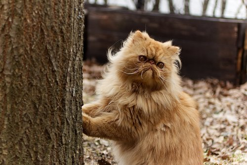 persians  persian cat  pet