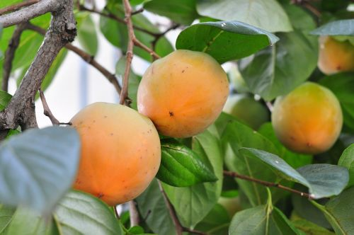 persimmon,fruit,plant,plants,greenness,the leaves,nature