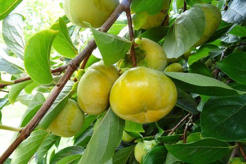 perssimon edible fruit