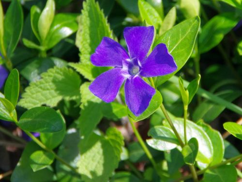 pervenche violet blue flower