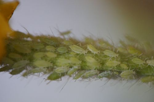 pests lice aphids