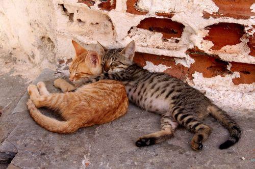 pet cat kitten
