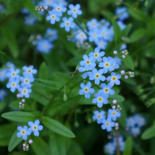 pet myosotis small blue flowers