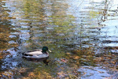 naminis gyvūnėlis,vanduo,atspindys,ežeras,vandens atspindys,natūralus gyvenimas