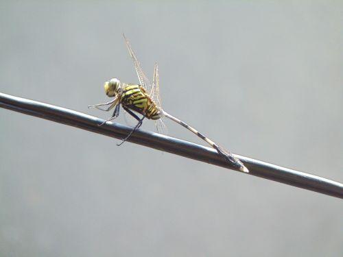 pet dragonflies close-up