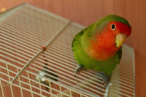 pet bird parrot