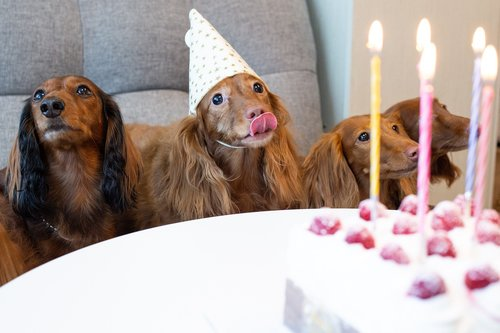 pet  dog  dachshund