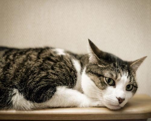 Pet Cat Reclining