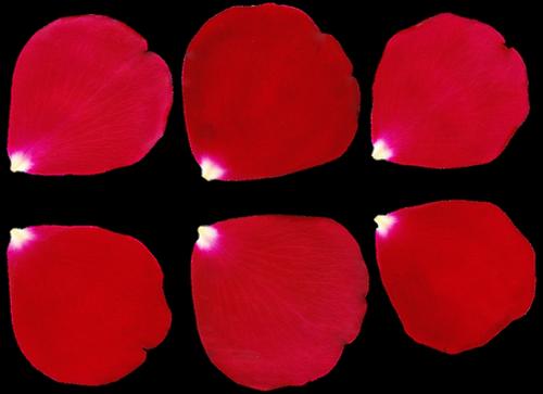 petal  rose  rose petal