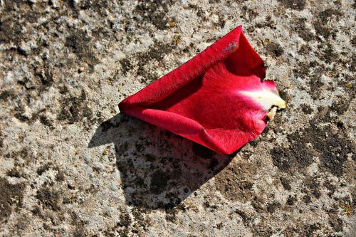 petal red rosa