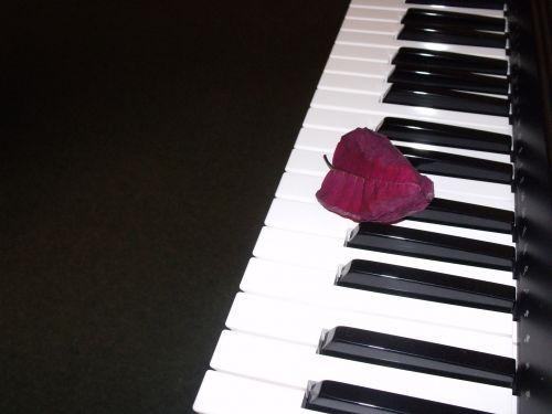 žiedlapis, klaviatūra, žiedlapis ant klaviatūros