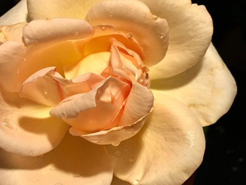 petals  yellow rose  rosa