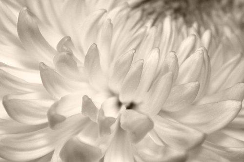 petals  chrysanthemum  flower