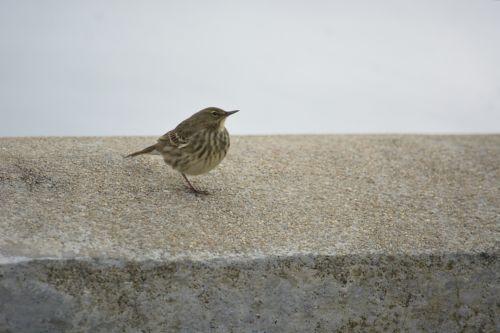 Little Sparrow On A Wall