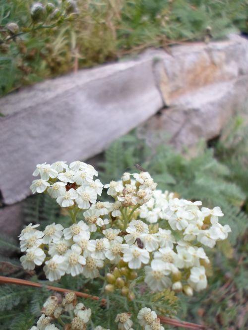 Small White Flower Foliage