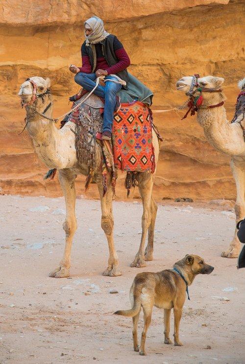 petra  dromedary  bedouin