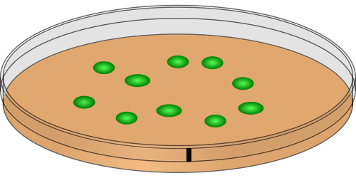 petri dish innoculation bacteria