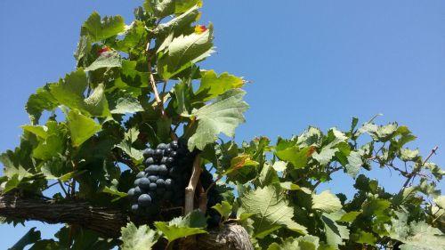 petrolina northeast vineyard
