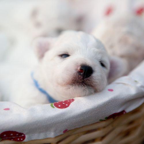 pets bichon puppy