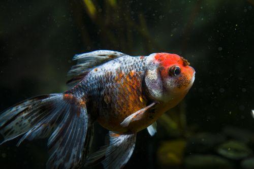 pets ornamental fish goldfish