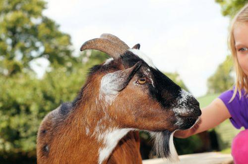 petting zoo goat stroke