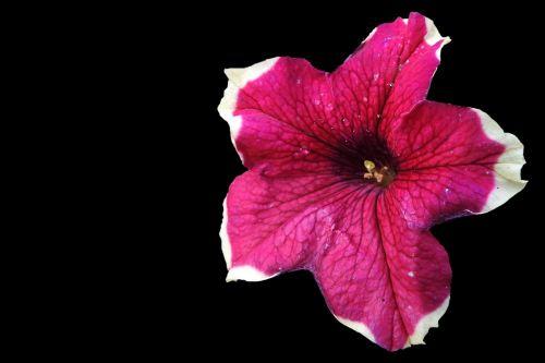 petunia nachtschattengewächs garden petunia