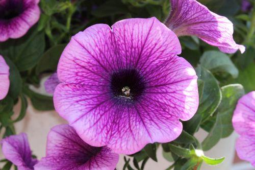 petunia blossom bloom