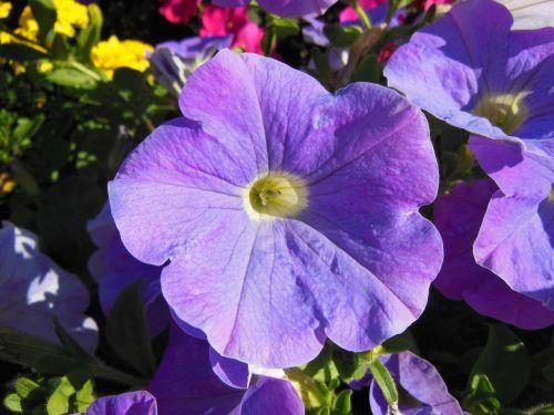 petunia close-up purple petunia