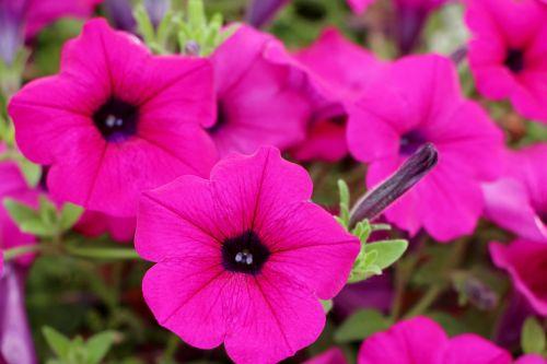 petunia plants flowers