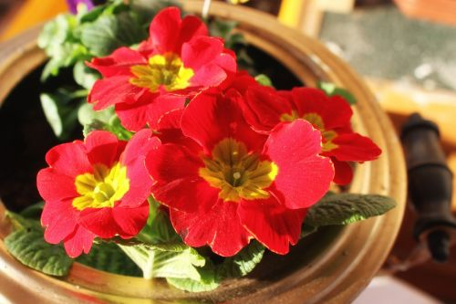 petunia red flowers