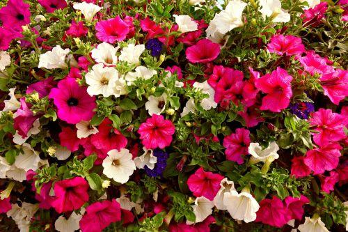 petunia flower blooming