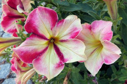 petunia flowers garden petunia
