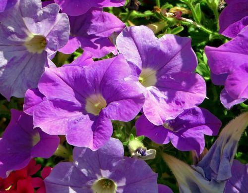 petunia solanaceae flower