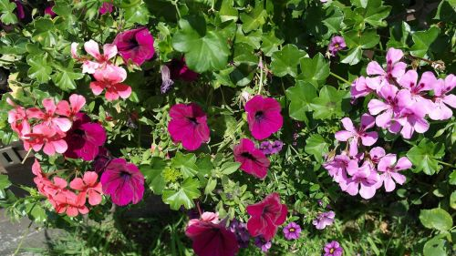 petunia geranium summer flowers