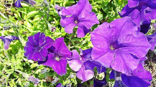 petunia petunia flower purple petunias