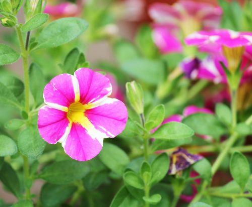 petunia ornamental plant nachtschattengewächs